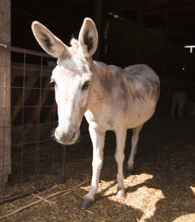 A donkey at the farm in Windsor