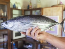A Bonito we bought from the local fishermen