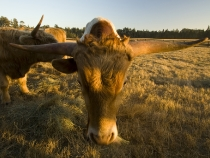 Longhorns on tha ranch