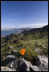 A lone California Poppy and the Golden Gate Bridge in the background