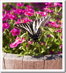 One of the butterflies that liked the flowers outside the cabin