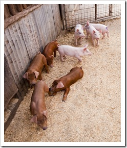 The piglets at the farm in Windsor