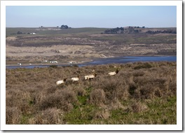 Five bull Tule Elk with Tomales Bay in the background